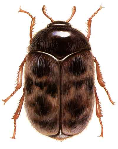 Implementation of ourKhapra Beetle urgent actions
